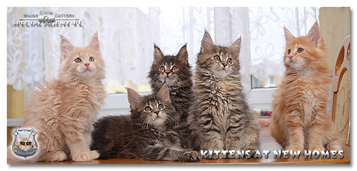 Gallery Maine Coon
